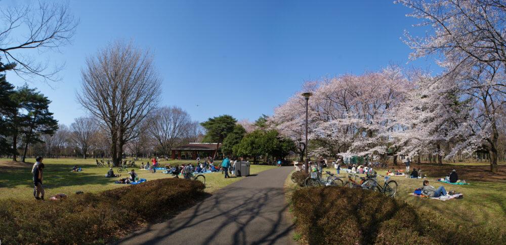 桜の見ごろを迎えた野川公園