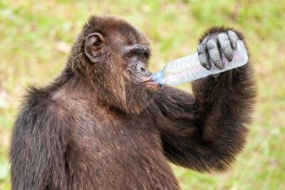 ガラの悪い車がいると思ったらチンパンジーが運転していた!こんなときどうする?
